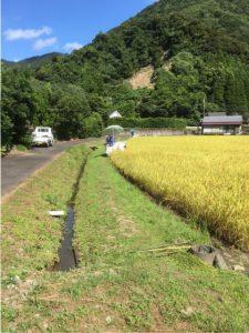 2016.07.29 蒲江 コシヒカリ3